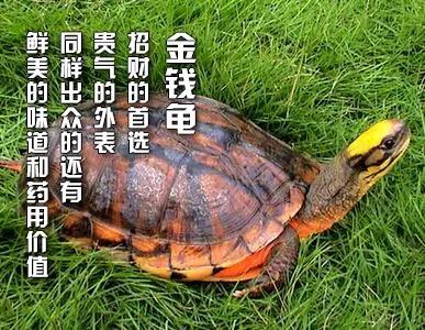 """浅谈""""风水龟""""在家居风水中的重要性!"""