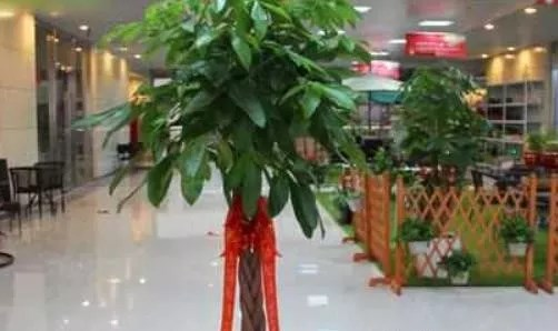 门口放什么植物最招财?