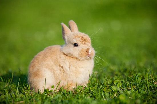 兔的生肖文化:纯洁温驯,形象讨好